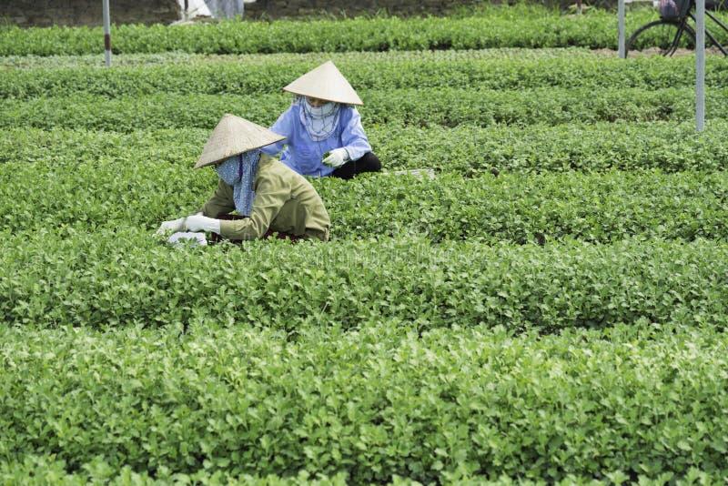 Hanoi Vietnam - Augusti 28, 2015: Asiatiska kvinnabönder som skördar grönsaken på jordbruks- kultiverat fält i förort av Hanoi royaltyfri fotografi
