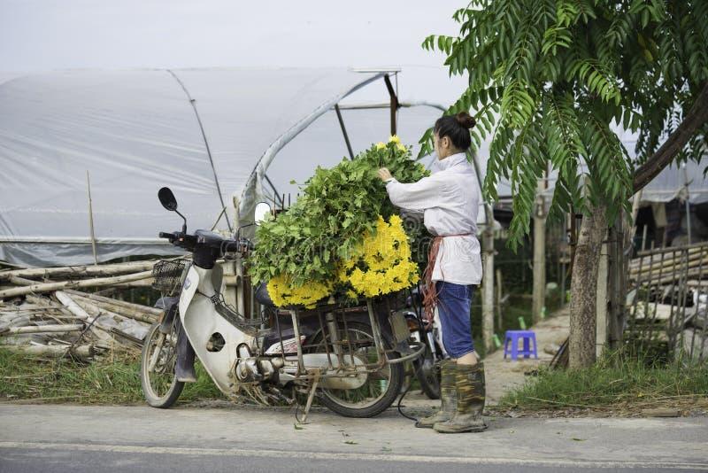 Hanoi, Vietnam - 28 Augustus, 2015: De jonge vrouw laadt gele madeliefjebloem op motorfiets na het oogsten voor het leveren aan m royalty-vrije stock afbeeldingen