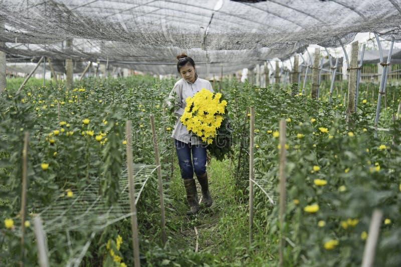 Hanoi, Vietnam - 28 de agosto de 2015: La mujer joven cosecha la flor amarilla de la margarita en tierra cultivada en cercanías d imagenes de archivo