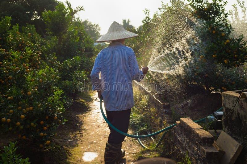 Hanoi, Vietnam - Jan 10, 2016: Farmer waters Kumquat in Nhat Tan garden, one month before Vietnamese lunar new year Tet. Kumquat t. Ree and peach flower are stock photography