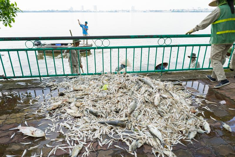 Hanoi, Vietnam - Oct 2, 2016: Pile of dead fish laying on ground collected from polluted water at West Lake royalty free stock photo