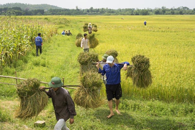 Hanoi, Vietname o 7 de junho: Os fazendeiros não identificados trabalham no campo do arroz na estação da colheita o 7 de junho de fotos de stock
