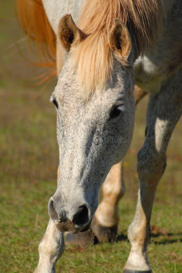 Hanovarian Mare horse. Head of grey roan horse, a Hanovarian mare, in pasture royalty free stock photography