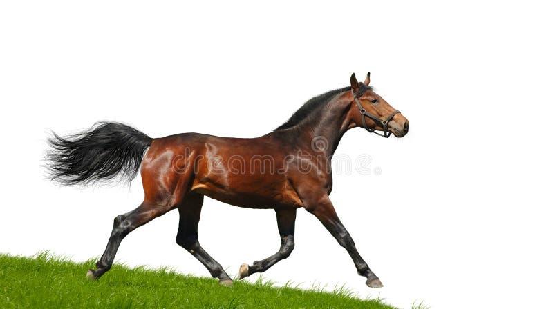Hanoverian公马小跑 库存照片