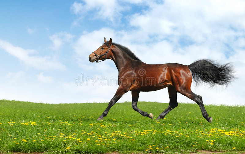 Hanoverian Horse Trots Royalty Free Stock Images