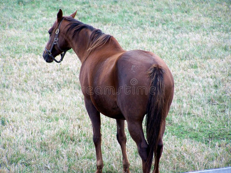 Hanoverian Race Horse Stock Photo