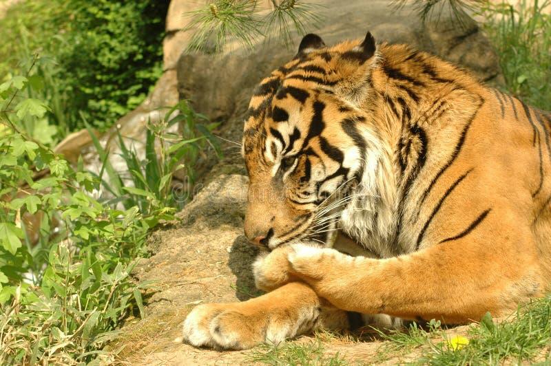 hans slicka tafsar tigern arkivbilder