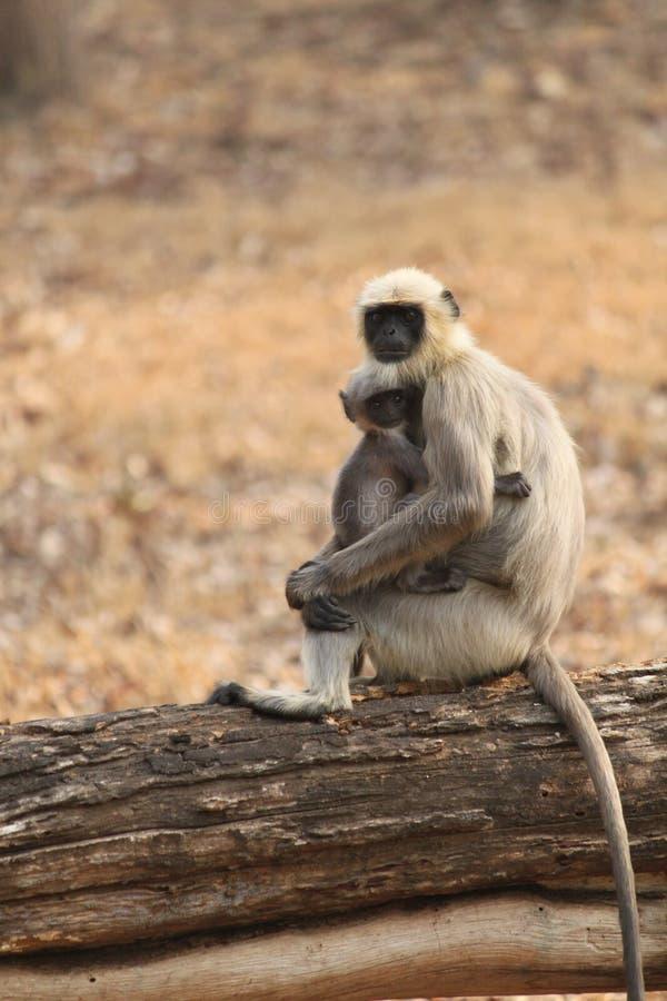 Hanuman叶猴 免版税库存图片