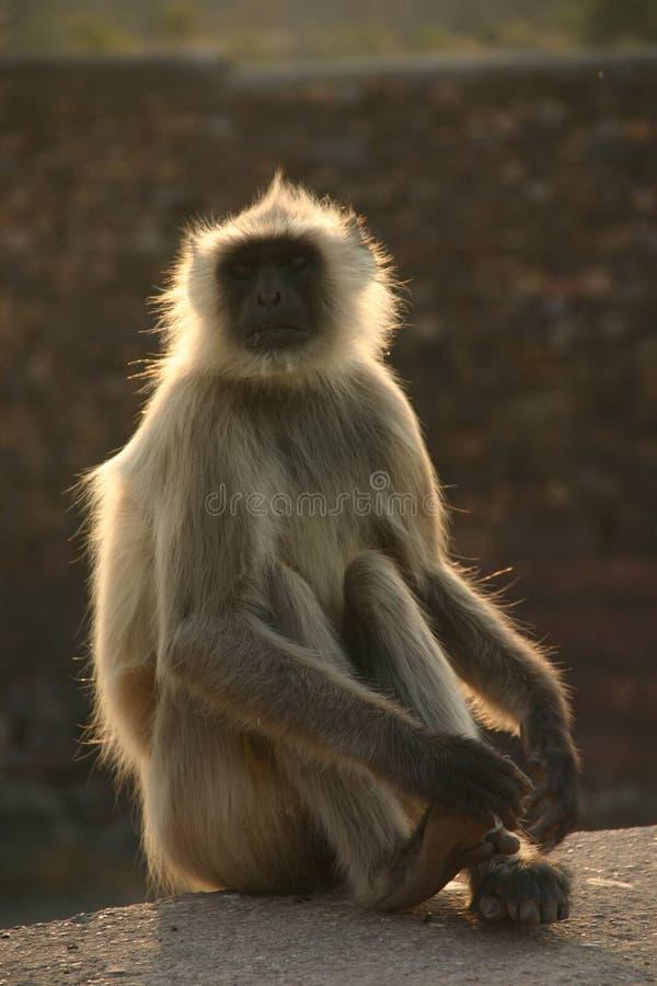 Hanuman langur stock images