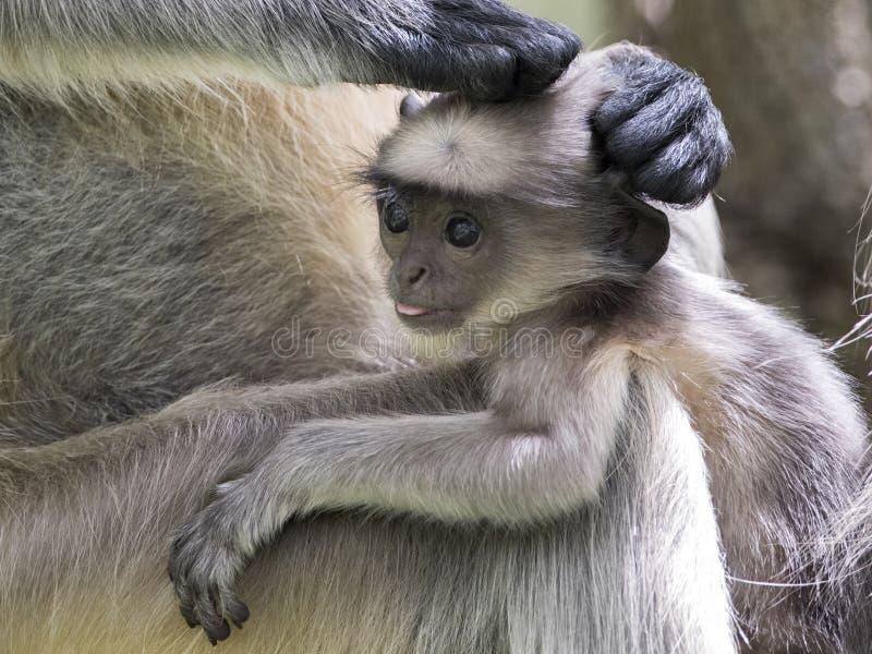 Hanuman Langur - asiatischer Langur lizenzfreies stockfoto