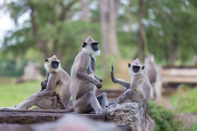 Hanuman Langur, entellus de Semnopithecus, monkeys a la familia imágenes de archivo libres de regalías