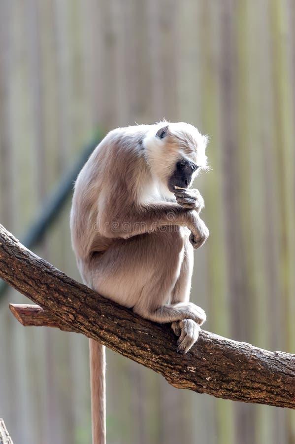 Hanuman langur i tänka för träd royaltyfri foto