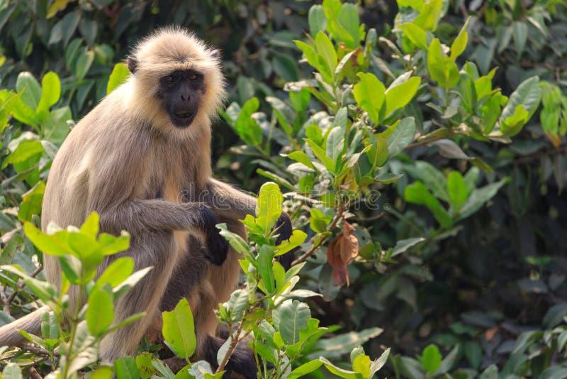 Hanuman langur sitting on a branch royalty free stock photo