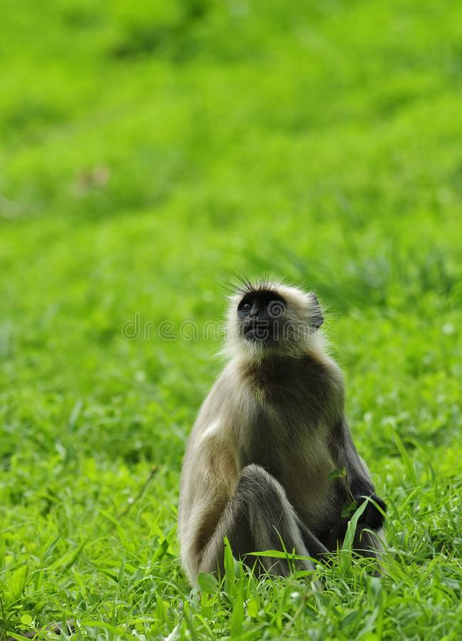 Hanuman Langur royalty free stock photos