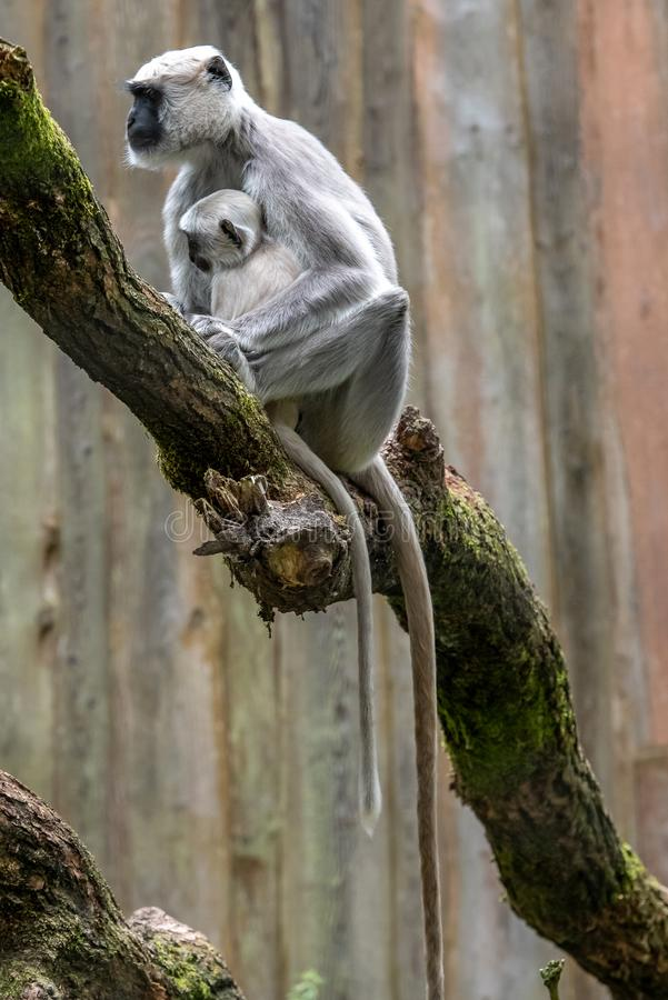 Hanuman langur with young in the tree stock photos