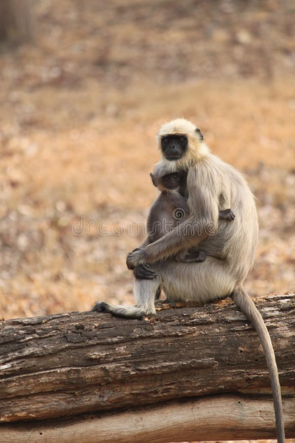 Hanuman langurs obrazy royalty free