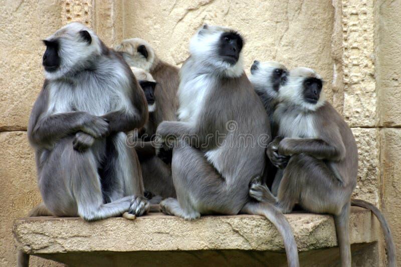 Download Hanuman Langurs Royalty Free Stock Photography - Image: 517777