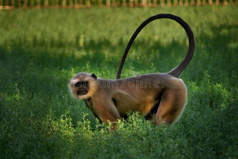 Hanuman стоковое фото