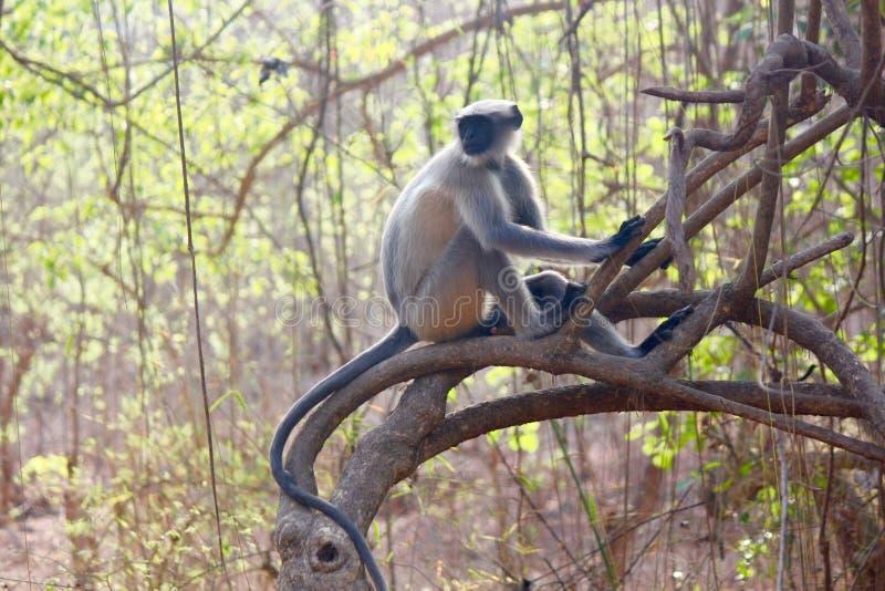 Hanunan-Affe (Blatt-Affe) hockte auf Baum lizenzfreie stockbilder