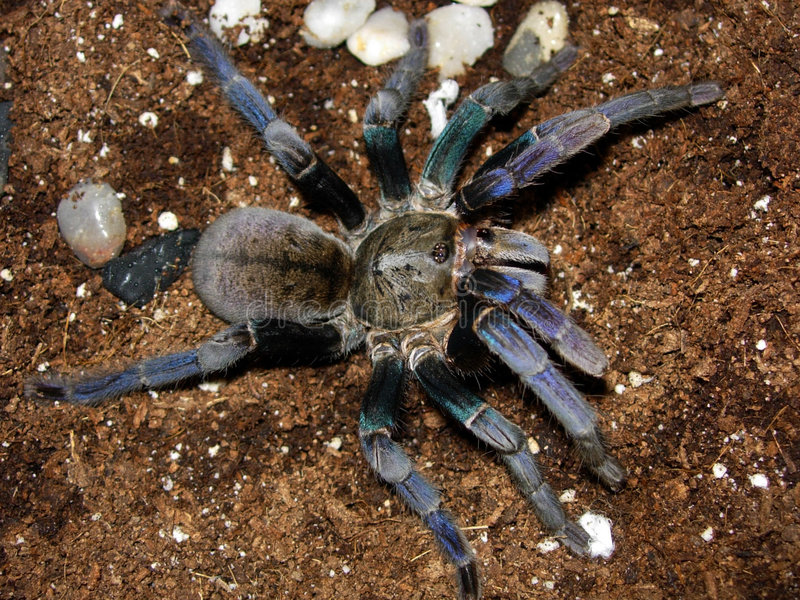 Haplopelma Lividum. Female Cobalt Blue Tarantula (haplopelma lividum royalty free stock images