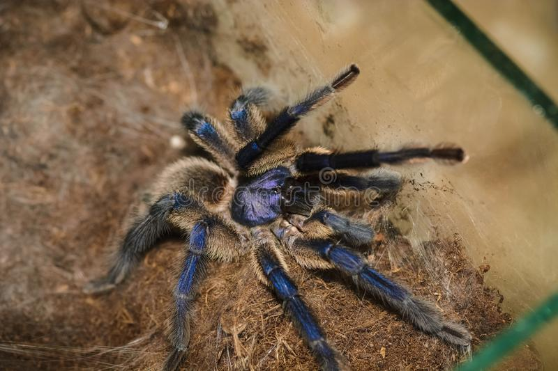 Haplopelma lividum. In a box waiting for food royalty free stock images
