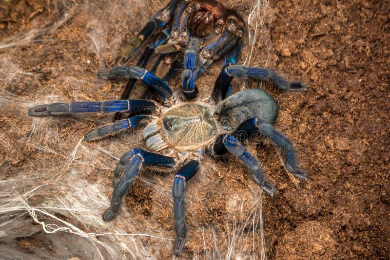 Haplopelma lividum. Cobalt blue tarantula - Haplopelma lividum. The cobalt blue tarantula is a medium size tarantula, being fast and defensive with potent venom stock photo