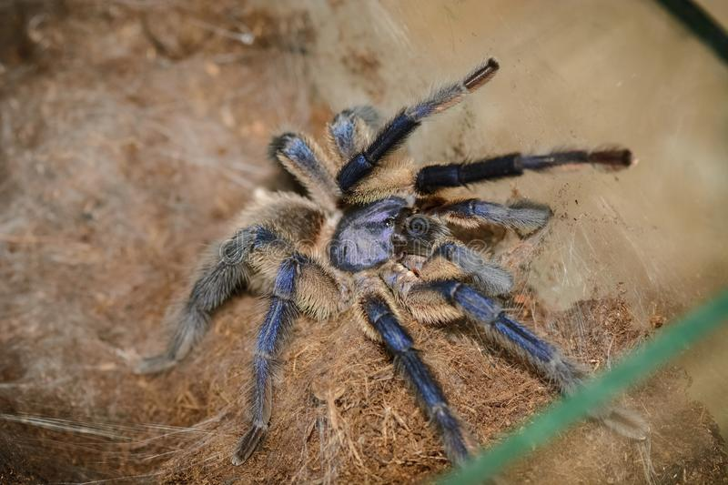 Haplopelma lividum. In a box waiting for food stock images