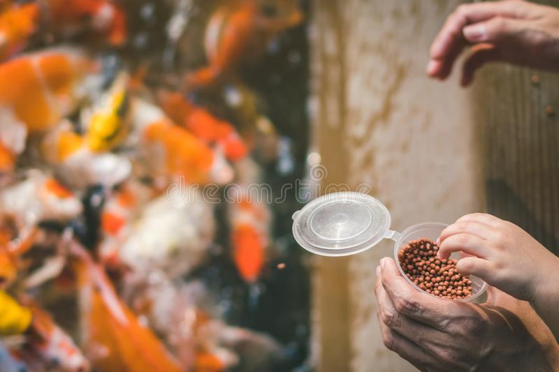 Happiness family is helping each other to feed many fancy Koi carp in pond of japanese garden. stock images