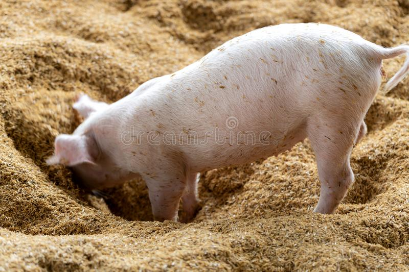 Happiness pig playing together in organic rural farm agricultural. Livestock industry royalty free stock image