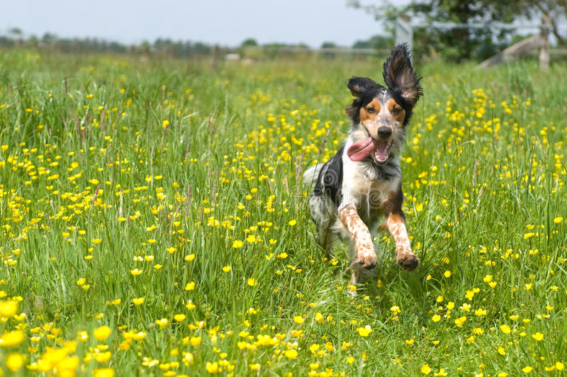 Happy active dog. Happy dog running through a meadow with buttercups