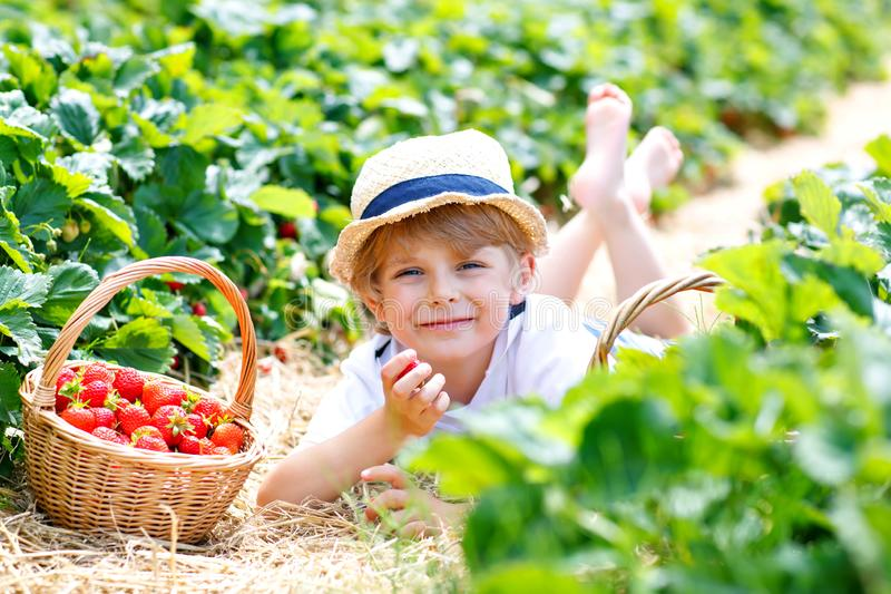 Happy adorable little kid boy picking and eating strawberries on organic berry bio farm in summer, on warm sunny day. Funny child having fun with helping stock photos