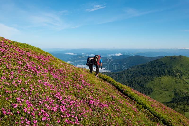 Happy adventurers with backpacks stands on trail. Among flowering pink rhododendrons on sunny day and admire panorama of mountains. Epic travel in the mountains stock photo