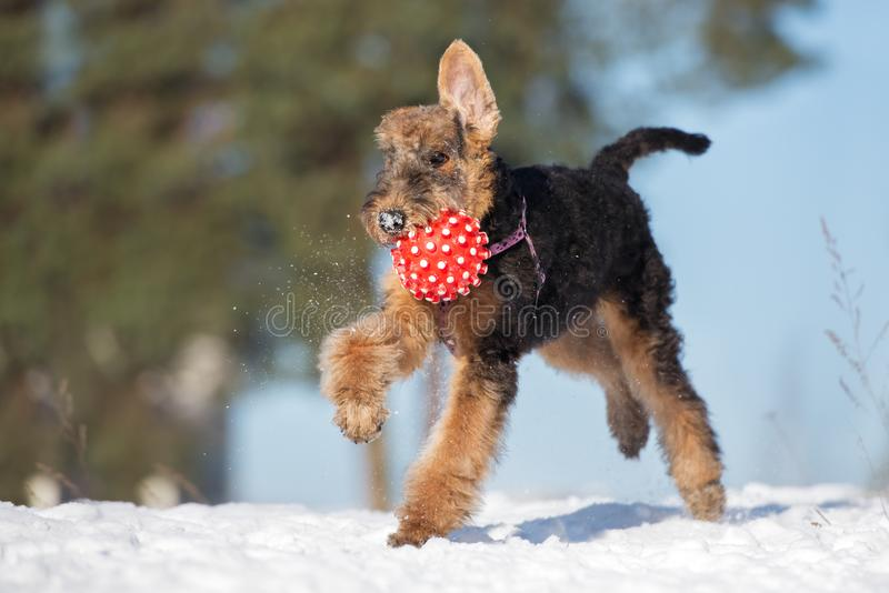 Happy airedale terrier puppy playing outdoors in winter. Airedale terrier puppy outdoors in winter stock images