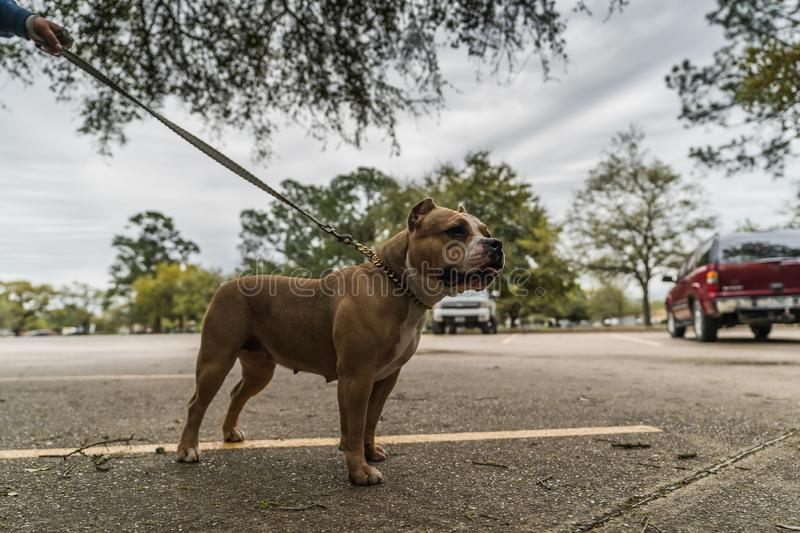 Happy American Bully dogs in the spring. royalty free stock photos