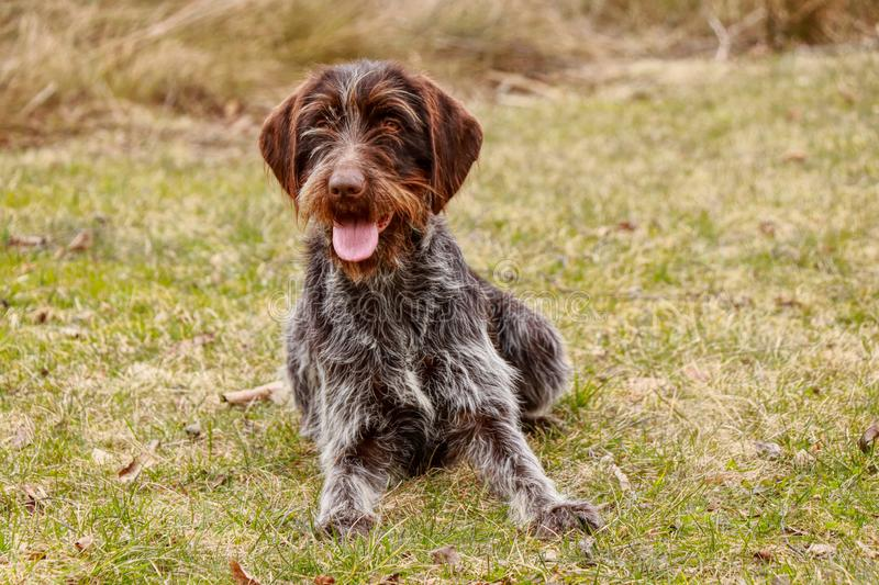Happy animal face in grass. Cesky fousek, Czech pointer smiles at the whole world. Total relax after long run. Playful puppy with. Tongue out resting on the stock photos