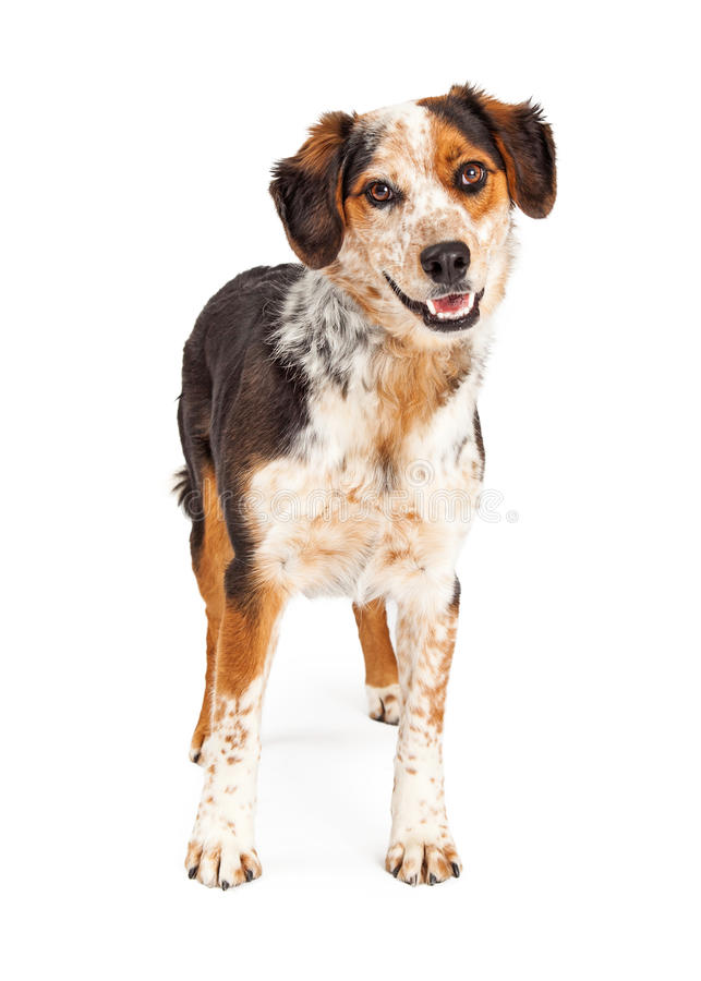 Happy Australian Shepherd Dog Smiling. A cute and happy Australian Shepherd mixed breed dog standing with an open mouth royalty free stock photos