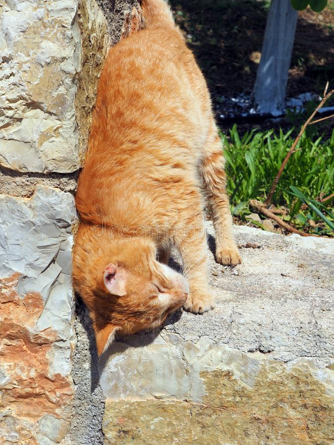 Happy Ginger Cat Rubbing Against Stone Wall. A happy and authentic stray ally ginger tabby rescue cat rubbing himself against a stone wall at his adopted home stock photography
