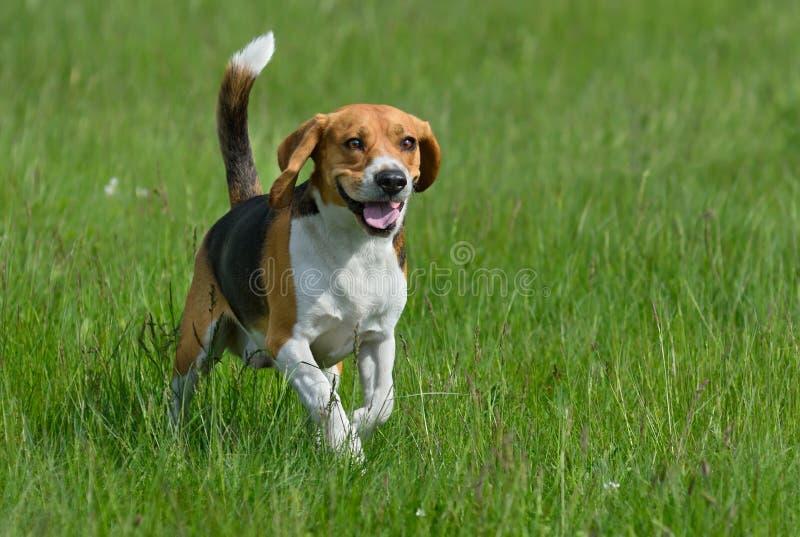 Happy beagle stock photo