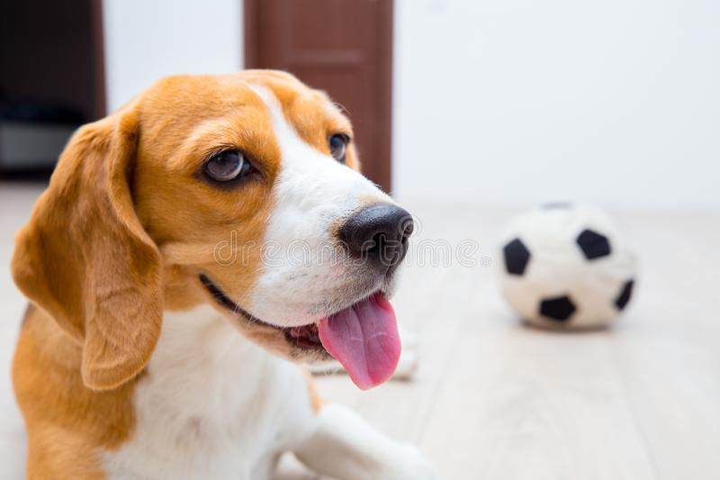 Happy beagle dog portrait royalty free stock image
