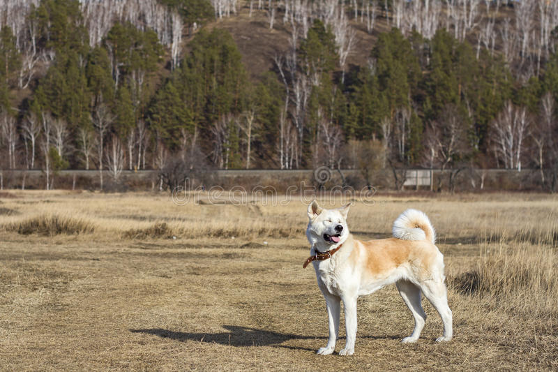 Happy beautiful cute squinted dog Japanese Akita inu in a field on trees and railroad tracks background. Happy beautiful cute squinted dog Japanese Akita inu in royalty free stock image