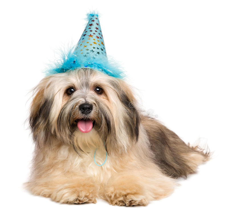 Happy Bichon Havanese puppy in a blue party hat stock images
