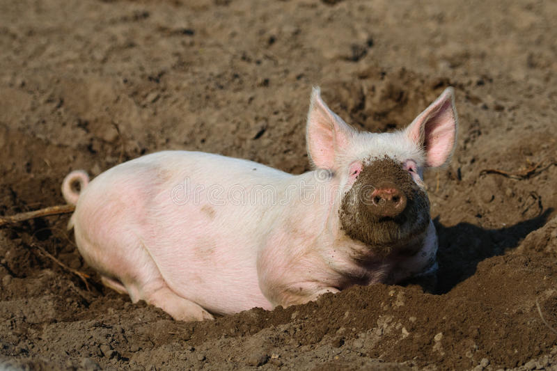 Download Happy biological Pig stock photo. Image of animal, dirty - 19243202