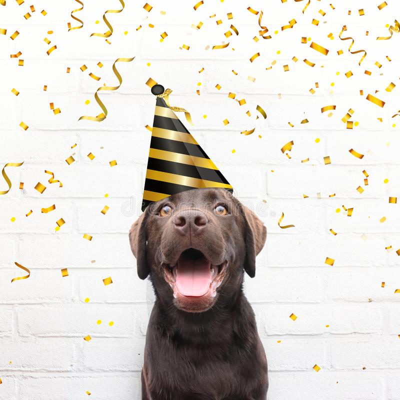 Happy birthday card crazy dog with party hat is smiling in de ca. Mera agianst white brick background with golden party confetti celebrate his birthday royalty free stock photo