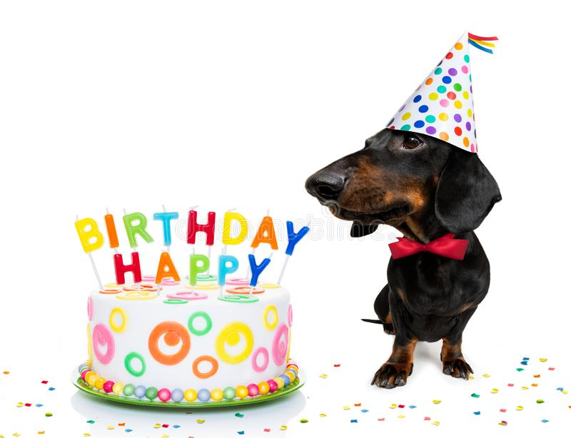 Happy birthday dog. Dachshund or sausage  dog  hungry for a happy birthday cake with candles ,wearing  red tie and party hat  , isolated on white background stock photography