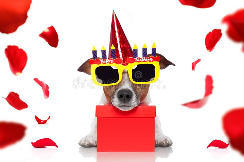 Happy birthday dog. Happy  birthday jack russell dog with a present or gift with lots of roses flying around in love for valentines or aniversary, isolated on stock images