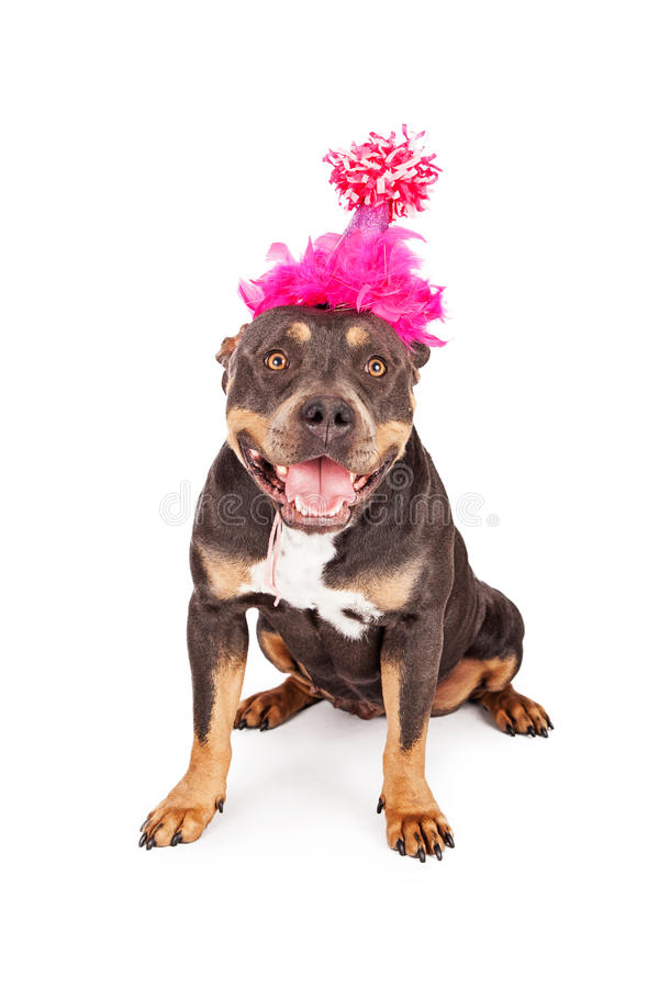 Happy Birthday Dog In Party Hat. A cute and happy tri-color Pit Bull dog wearing a pink birthday party hat with a big smile on her face stock photography
