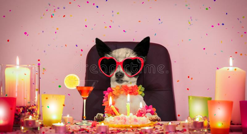 Happy birthday dog. Happy  birthday poodle dog with lots of confetti in love for valentines or aniversary, cake and sunglasses,  candles and cocktail stock images