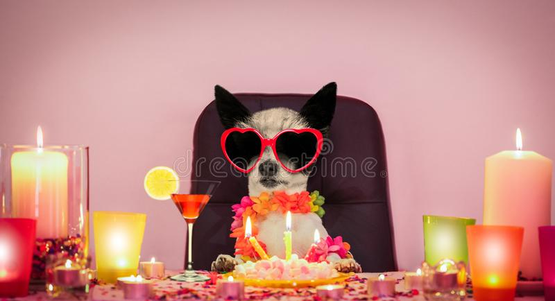 Happy birthday dog. Happy  birthday poodle dog with lots of confetti in love for valentines or aniversary, cake and sunglasses,  candles and cocktail royalty free stock photos