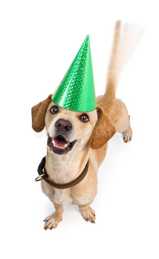 Happy Birthday Dog Wagging Tail. A cute young Chiweenie (Dachshund and Chihuahua cross-breed) puppy dog wearing a birthday hat with motion blur from a wagging royalty free stock photos