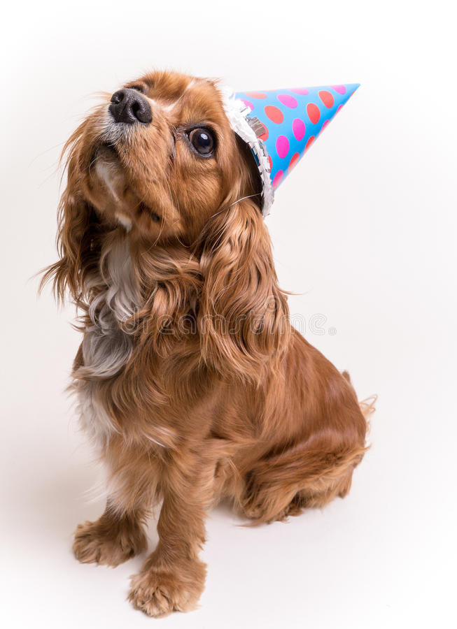 Happy Birthday Puppy. A Cavalier King Charles Spaniel puppy with birthday party hat celebrates his first birthday stock images